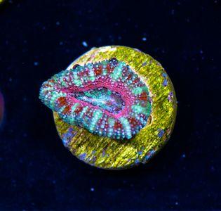 FMC Acanthastrea pink Rim   V   (Filter- + Daylight-Shot picture!) – Bild 1