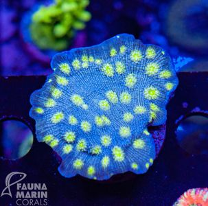 US Style Primefrags® Echinopora lamellosa  V   (Filter- + Daylight-Shot picture!)