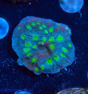 US Style Primefrags® Echinopora lamellosa  V   (Filter- + Daylight-Shot picture!) – Bild 3