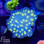 US Style Primefrags® Echinopora lamellosa  V   (Filter- + Daylight-Shot picture!) 001