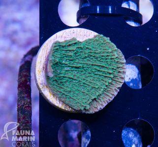 FMC Montipora green V – image 2