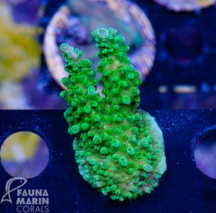 FMC Acropora green Stag V (Daylight- + Filtershot picture) – image 1