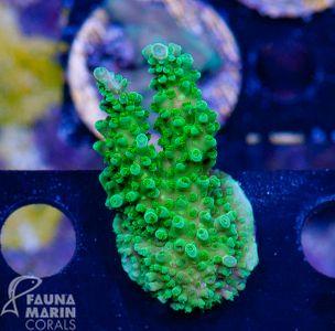 FMC Acropora green Stag V  (Daylight- + Filtershot picture) – Bild 1