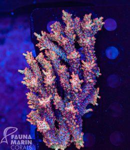 FMC Acropora microclados Strawberry Shortcake XL Colony (Filter + Daylight-Shot picture!) – Bild 1