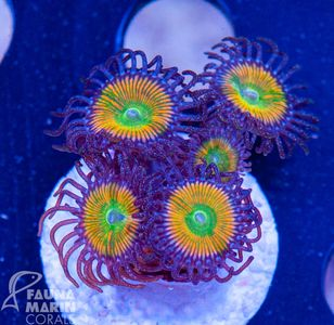 FMC Zoanthus Sunny D (Filter- + Daylight-Shot picture!) V – image 1
