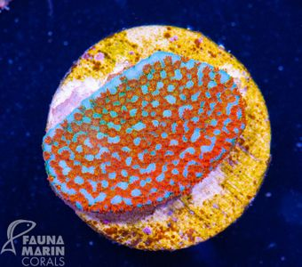 US Style Primefrags® Montipora Marvelous  V (Filter- + Daylight-Shot picture!) – image 4