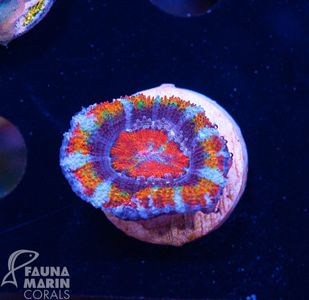 US Style Primefrags® Acanthastrea Rainbow Real Deal (Filter- + Daylight-Shot picture!) – image 1