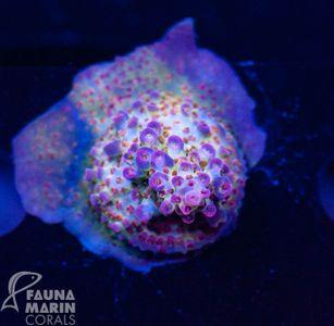 US Style Primefrags® Acropora Anthocercis Flowerpower (Filter- + Daylight-Shot picture!) – Bild 1