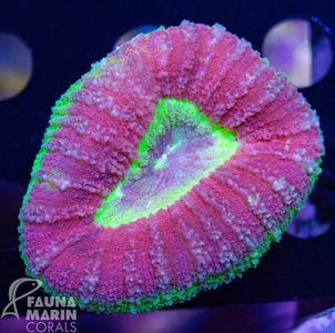 FMC Lobophyllia Tricolor (Filter- + Daylight-Shot picture!) – image 2
