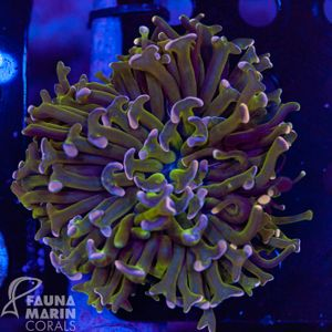 FMC Euphyllia ancora pink tips Aussi (Filter- + Daylight-Shot picture!) – Bild 1