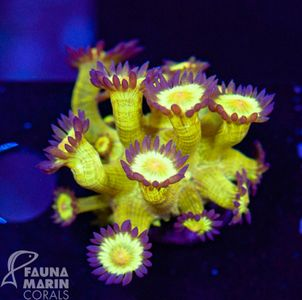 US Style Primefrags® Goniopora Purple Skirt V (Filter- + Daylight-Shot picture!)  – Bild 1