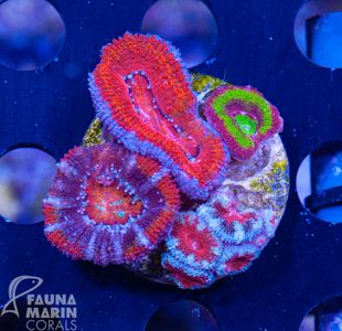 FMC Acanthastrea mix rainbow  V   (Filter- + Daylight-Shot picture!) – Bild 2