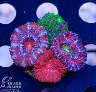 FMC Acanthastrea mix rainbow  V   (Filter- + Daylight-Shot picture!) – Bild 4