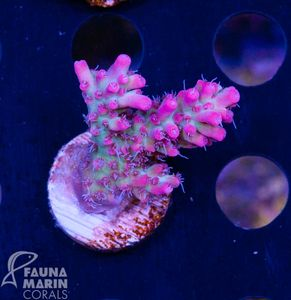 US Style Primefrags® Acropora microclados Strawberry Shortcake V  (Filter- + Daylight-Shot picture!) – image 4