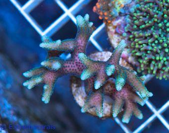 FMC Seriatopora bicolor   V  (Daylight- + Filtershot picture!) – Bild 3