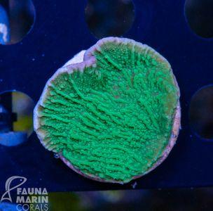 FMC Montipora green V