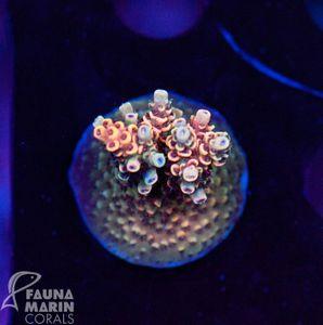 US Style Primefrags® Acropora hyacinthus Indo (Filter- + Daylight-Shot picture!) – Bild 1