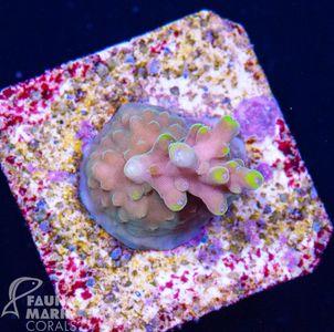 US Style Primefrags® Acropora microclados Bali Shortcake (Filter- + Daylight-Shot picture!) – Bild 2