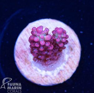 US Style Primefrags® Acropora microclados SSC   (Filter- + Daylight-Shot picture!) – Bild 2