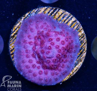 FMC  Cyphastrea pink  V