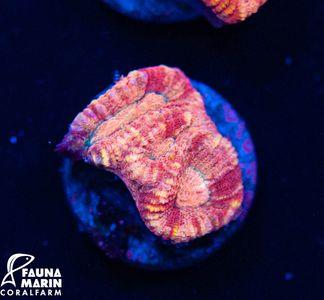 FMC Barbattoia amicorum (Daylight- + Filtershot picture!)