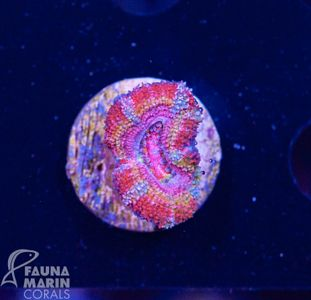US Style Primefrags® Acanthastrea Crayon V (Filter- + Daylight-Shot picture!) – Bild 1