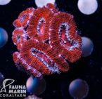 FMC Acanthastrea Red 001