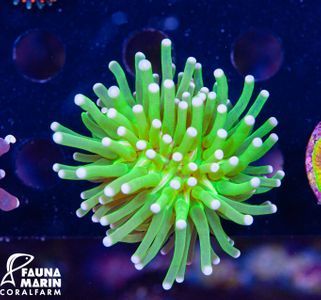 FMC Euphyllia glabrescens Super Green/Rose Tips V (Filter- + Daylight-Shot picture!) – image 2