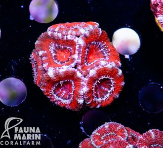 FMC Acanthastrea Red + Silver Rim