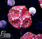FMC Acanthastrea Red + Silver Rim 001