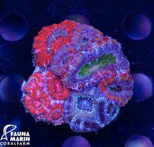 FMC Acanthastrea Mix Rock (Filter- + Daylightshot picture) – image 1