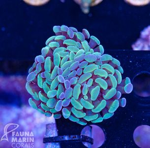 FMC Euphyllia baliensis Yellowish V (Filter + Daylight-Shot) – image 2