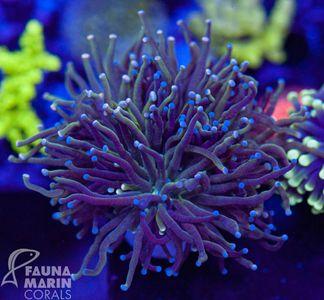 FMC Euphyllia glabrescens V (Filter- + Daylight-Shot picture!) – Bild 2