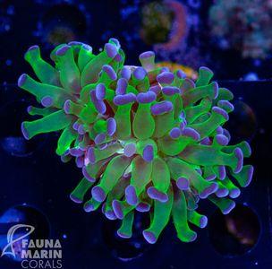 FMC Euphyllia Paradivisa Purple Tips V