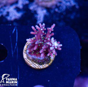 US Style Primefrags® Acropora carduus Purple Dragon (Daylight-Shot picture!)