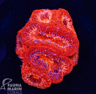 FMC Acanthastrea Deep Red V (Filter- + Daylight-Shot picture!) – image 1