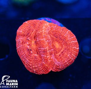 FMC Acanthastrea bowerbanki Red V (Filter- + Daylight-Shot picture!) – image 1