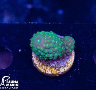 FMC Acropora humilis Green (Filter- + Daylightshot picture) – Bild 2