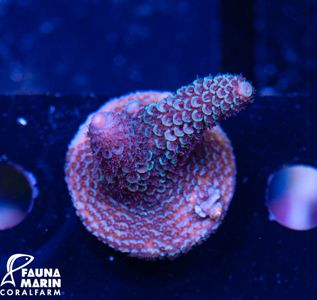 FMC Acropora spathulata (Filter- + Daylightshot picture)