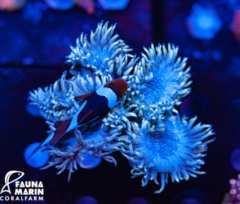 FMC Catalaphyllia Ice Blue V (Filter- + Daylight-Shot picture!) – image 1