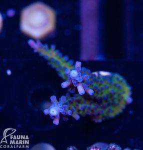 US Style Primefrags® Acropora Electric Miyagi (Filter- + Daylight-Shot picture!) – Bild 1