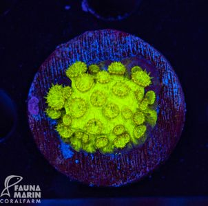 FMC Cyphastrea Radioactive Goo (Filter- + Daylight-Shot picture!) – Bild 2