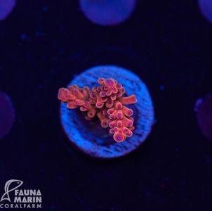 US Style Primefrags® Acropora Chewydew (Filter- + Daylight-Shot picture!) – Bild 1