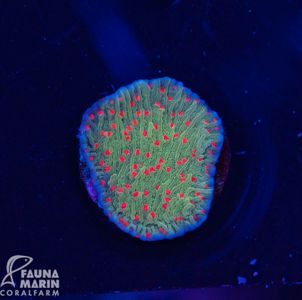 US Style Primefrags® Montipora Chillipepper (Filter- + Daylightshot!) – Bild 1