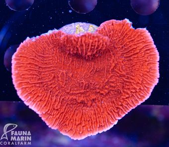 FMC Montipora Red Plate