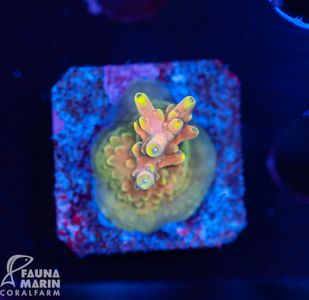 US Style Primefrags® Acropora microclados Bali Shortcake (Filter- + Daylight-Shot picture!) – Bild 1