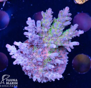 US Style Primefrags® Acropora microclados Icebird (Filter- + Daylight-Shot picture!) – Bild 2