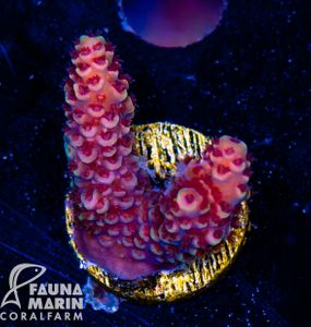 US Style Primefrags® Acropora spathulata Red Polyp (Filter- + Daylight-Shot picture!) – Bild 2