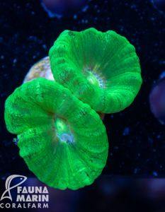 FMC Caulastrea Kryptonite V