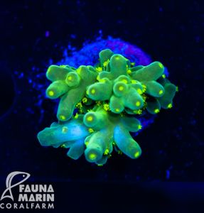 US Style Primefrags® Acropora The Hive (Filter- + Daylight-Shot picture!) – Bild 1